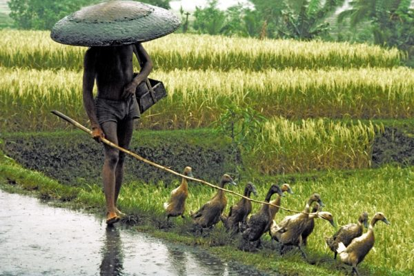 Indonesia. Bali. Herding ducks home in the rain at the end of the day. Rice field.