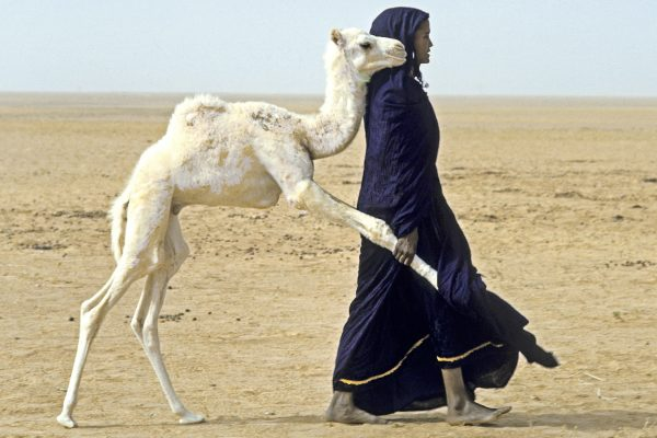Niger Republic. SaharaDesert. Young Tuareg woman pulls a baby camel away from its mothe after nursing so that it will let her relatives milk the mother for their own use. The girl will tie the baby camel at a stake near her tent.